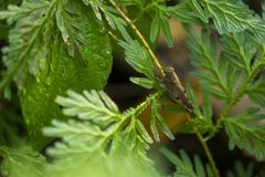 Ο συμπλέκτης ακρίδων της Βομβάη είναι στις φτέρες στη μέση τέλειου Στοκ Φωτογραφία