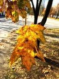 Ο σφένδαμνος βγάζει φύλλα σε ένα δέντρο το φθινόπωρο Στοκ Εικόνες
