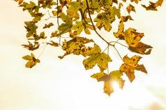 Ο σφένδαμνος βγάζει φύλλα το φθινόπωρο Στοκ φωτογραφία με δικαίωμα ελεύθερης χρήσης