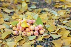 ο σωρός ginkgo καρπών biloba αφήνει να &be Στοκ Φωτογραφίες