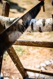 Ο τέμνων ξύλινος γάμος σύνδεσης νυφών και νεόνυμφων, ο κορμός δέντρων πριονίζεται από τη νύφη και το νεόνυμφο στοκ φωτογραφία με δικαίωμα ελεύθερης χρήσης