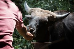 Ο ταΐζοντας βούβαλος από παραδίδει τη Νότια Ασία Στοκ Εικόνες