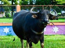 Ο ταϊλανδικός βούβαλος τρώει την πράσινη χλόη αρχειοθετημένη Στοκ Εικόνες