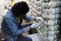 Ο ταϊλανδικός εργαζόμενος επιλέγει τα μανιτάρια Στοκ Εικόνες