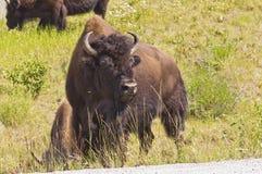 Ο ταύρος βισώνων φρουρεί το κοπάδι Στοκ Εικόνες