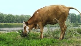 Ο ταύρος στέκεται στον ποταμό σε μια χλόη φιλμ μικρού μήκους