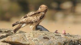 Ο τεθειμένος σε έναρξη αετός τρώει το θήραμά του στο βράχο φιλμ μικρού μήκους
