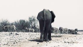 Ο τεράστιος afican ελέφαντας περπατά μακριά απόθεμα βίντεο