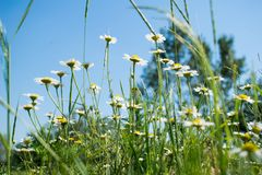 Ο τομέας ανθίζει μια όμορφη θερινή ημέρα, με έναν μπλε και σαφή ουρανό στοκ φωτογραφία με δικαίωμα ελεύθερης χρήσης