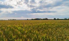 Ο τομέας καλαμποκιού επηρεάζεται από την ξηρασία στοκ εικόνα