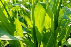 Ο τομέας καλαμποκιού μεγάλος βγάζει φύλλα το φύλλωμα Στοκ εικόνες με δικαίωμα ελεύθερης χρήσης