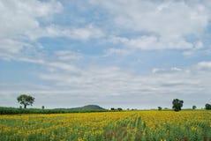 Ο τομέας λουλουδιών ήλιων στοκ φωτογραφίες