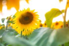 Ο τομέας με τα λουλούδια ενός ηλίανθου Στοκ φωτογραφία με δικαίωμα ελεύθερης χρήσης
