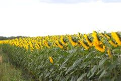 Ο τομέας με τα λουλούδια ενός ηλίανθου Στοκ Εικόνες