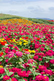 Ο τομέας λουλουδιών είναι ανθίζοντας Στοκ εικόνες με δικαίωμα ελεύθερης χρήσης