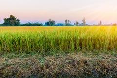 Ο τομέας ρυζιού είναι άφθονος στην Ταϊλάνδη στοκ εικόνες
