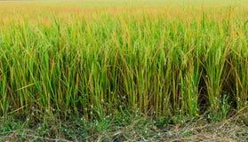 Ο τομέας ρυζιού είναι άφθονος στην Ταϊλάνδη στοκ φωτογραφία