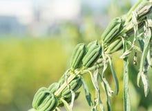 Ο τομέας σουσαμιού με τους λοβούς και τους σπόρους σουσαμιού σε Xigang, Ταϊνάν, Ταϊβάν, κλείνει επάνω, μακροεντολή, bokeh στοκ εικόνα με δικαίωμα ελεύθερης χρήσης