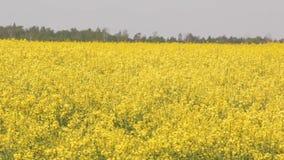 Ο τομέας συναπόσπορων, canola άνθισης ανθίζει στον τομέα το καλοκαίρι φιλμ μικρού μήκους