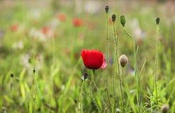 Ο τομέας της παπαρούνας καλαμποκιού ανθίζει την άνοιξη Στοκ Εικόνες