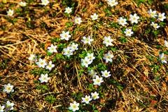 Ο τομέας του άγριου λουλουδιού Anemone Στοκ φωτογραφία με δικαίωμα ελεύθερης χρήσης