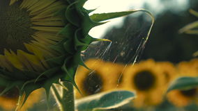 Ο τομέας των κίτρινων ηλίανθων απόθεμα βίντεο