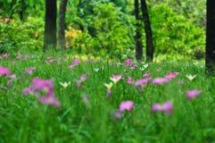 Ο τομέας των ρόδινος-πορφυρών λουλουδιών κρίνων Zephyranthes ή κρίνων βροχής στον κήπο, τουλίπα του Σιάμ ανθίζει, εκλεκτική εστία στοκ εικόνες