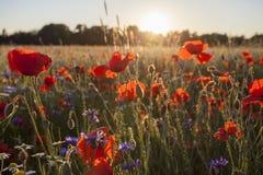 Ο τομέας Wildflowers παπαρουνών σε φωτεινό λάμπει φως ηλιοβασιλέματος Στοκ εικόνες με δικαίωμα ελεύθερης χρήσης