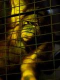 Ο τριχωτός πίθηκος στο ζωολογικό κήπο χαμηλού φωτός μέσα σε ένα κλουβί μετάλλων προσπαθεί να εκφράσει και να επικοινωνήσει Στοκ Εικόνα