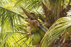Ο τροπικός σκίουρος κρατά ένα κομμάτι της καρύδας Shell Στοκ εικόνα με δικαίωμα ελεύθερης χρήσης