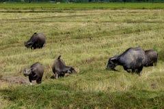 Ο τρόπος που ήταν στον τομέα ρυζιού των βούβαλων, Ταϊλάνδη Στοκ φωτογραφίες με δικαίωμα ελεύθερης χρήσης