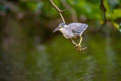Ο τρώγων ψαριών είναι ένα πουλί βρήκε κοντά στους ποταμούς Στοκ φωτογραφία με δικαίωμα ελεύθερης χρήσης