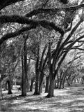 Ο τυφώνας έκαμψε τα δρύινα δέντρα στοκ φωτογραφία με δικαίωμα ελεύθερης χρήσης