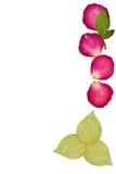 Ο Τύπος αυξήθηκε λουλούδια και πράσινο φύλλο Στοκ Εικόνα