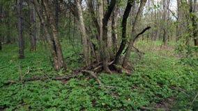 Ο τύπος και ένα κορίτσι περπατούν μέσω του δάσους απόθεμα βίντεο