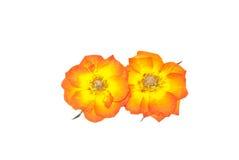 ο Τύπος λουλουδιών αυξήθηκε Στοκ φωτογραφία με δικαίωμα ελεύθερης χρήσης