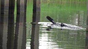 Ο τύπος στο σκάφανδρο κολυμπά κάτω από τη γέφυρα απόθεμα βίντεο