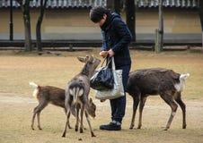 Ο τύπος ταΐζει τα ελάφια στο πάρκο Στοκ εικόνα με δικαίωμα ελεύθερης χρήσης