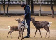 Ο τύπος ταΐζει τα ελάφια στο πάρκο Στοκ φωτογραφία με δικαίωμα ελεύθερης χρήσης