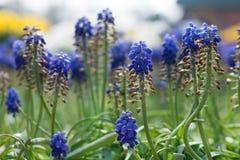 Ο υάκινθος σταφυλιών (armeniacum Muscari) την άνοιξη καλλιεργεί Στοκ Φωτογραφίες