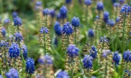 Ο υάκινθος σταφυλιών (armeniacum Muscari) την άνοιξη καλλιεργεί Στοκ φωτογραφία με δικαίωμα ελεύθερης χρήσης