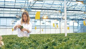 Ο υπάλληλος θερμοκηπίων επιθεωρεί τα σπορόφυτα του μαρουλιού Υγιής έννοια παραγωγής προϊόντων φιλμ μικρού μήκους