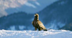 Ο υπερήφανος χρυσός αετός τρώει σε ένα νεκρό ζώο στα βουνά στο χειμώνα απόθεμα βίντεο