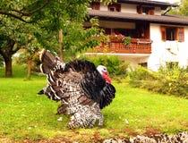 Ο υπερήφανος Tom Τουρκία που επιδεικνύει τα φτερά του στοκ εικόνες με δικαίωμα ελεύθερης χρήσης