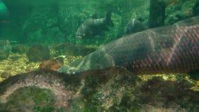 Ο υποβρύχιος κόσμος, γιγαντιαία ψάρια κολυμπά κάτω από το νερό, κλίση, λούτσοι, arapaima στοκ φωτογραφία