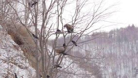 Ο φαλακρός, άσπρος-επωμισμένος, αετός κατά την πτήση πέρα από τα κυνήγια λιμνών στα ξημερώματα, αλιεύει το χειμώνα απόθεμα βίντεο