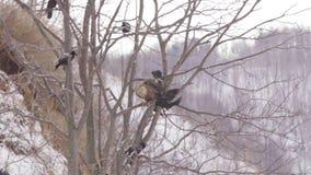 Ο φαλακρός, άσπρος-επωμισμένος, αετός κατά την πτήση πέρα από τα κυνήγια λιμνών στα ξημερώματα, αλιεύει το χειμώνα φιλμ μικρού μήκους