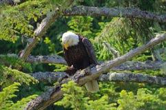 Ο φαλακρός αετός εσκαρφάλωσε στους κλάδους ενός μεγάλου κομψού δέντρου, κοιτάζοντας κάτω στοκ φωτογραφία