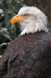 ο φαλακρός αετός που αφήν Στοκ φωτογραφίες με δικαίωμα ελεύθερης χρήσης