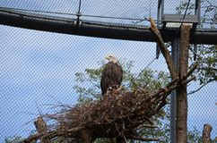Ο φαλακρός αμερικανικός αετός στοκ φωτογραφίες